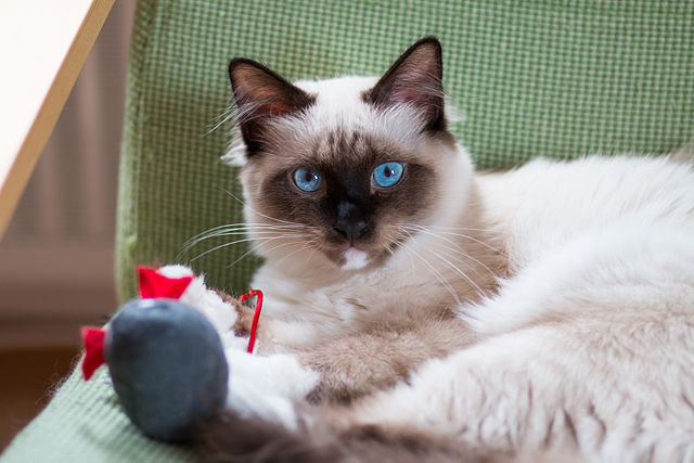 Seal Point Cat Breeds