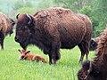 Bison Calf (17453309800).jpg