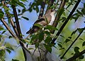 Black-billed Cuckoo - close to 10AM (14063340491).jpg