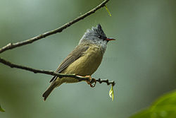 Black-chinned Yuhina - Bhutan S4E1500 (19540578722).jpg