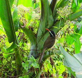 Black-crowned Scimitar-babbler.jpg