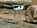 Black-necked Stilt RWD2.jpg