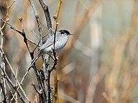 Black-tailed Gnatcatcher (Polioptila melanura)