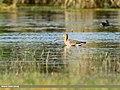 Black-tailed Godwit (Limosa limosa) (48332318367).jpg