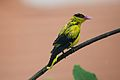 Black Naped Oriole (6935459991).jpg