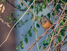 Black Redstart female.jpg