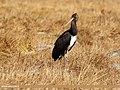 Black Stork (Ciconia nigra) (37497305856).jpg