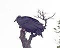 Black Vulture, Coragyps atratus - Flickr - Lip Kee.jpg