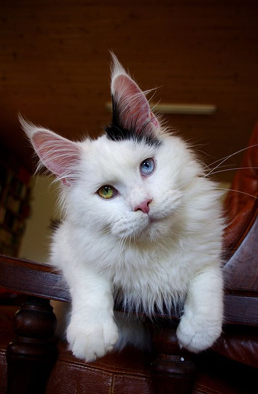 Hlaf Ragdoll Long Haired Cat