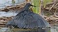 Black heron, Egretta ardesiaca, at Marievale Nature Reserve, Gauteng, South Africa. (25201552257).jpg