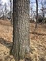 Black oak bark in High Park, Toronto, Ontario, Canada during March.jpg