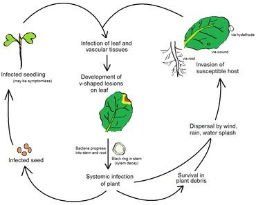 Life cycle of the black rot pathogen Xanthomonas campestris pv. campestris