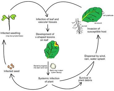 Life cycle of the black rot pathogen Xanthomonas campestris pv. campestris