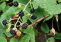 Blackberries Brombeeren (2).JPG