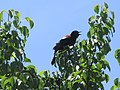 Blackbird singing.jpg
