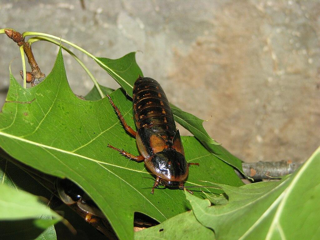 Dubia Roach - Female