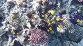 File:Blauer Segelflossendoktor (Zebrasoma xanthurum) DSCF8804.webm