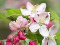 Blossom (9026791103).jpg