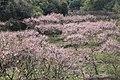 Blossom fields in Lishui, China.jpg