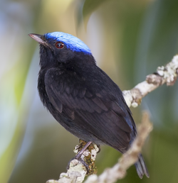 Blue-crowned manakin male.png