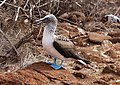 Blue-footed booby 01.jpg