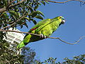 Blue-fronted Amazon (Amazona aestiva) -8.jpg