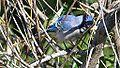 Blue Jay (8018391630).jpg