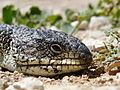 Blue tongue lizard head.jpg