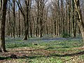 Bluebell woods - geograph.org.uk - 1609838.jpg