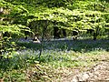 Bluebells in Great Copse - geograph.org.uk - 424459.jpg