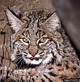 Bobcat, by Terry Spivey, USDA Forest Service.jpg