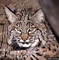 Bobcat, by Terry Spivey, USDA Forest Service.jpg