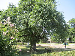 Bodock tree, the oldest in Rayville, is located between the Civic Center and the Rhymes Memorial Library.