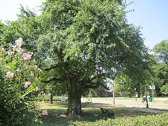 Rayville, Louisiana - Bodock tree, the oldest in Rayville, is located between the Civic Center and the Rhymes Memorial Library.