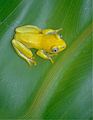 Boettger's Reed Frog (Heterixalus boettgeri) (10293335884).jpg