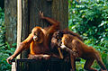 Bornean Orangutans (Pongo pygmaeus) (14582398871).jpg