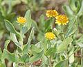 Borrichia frutescens (L.) DC. - bushy seaoxeye, bushy seaside tansy (3777263605).jpg