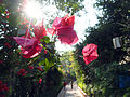 Bougainvillea in Xiamen 20131231.jpg