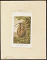 Bradypus didactylus - 1700-1880 - Print - Iconographia Zoologica - Special Collections University of Amsterdam - UBA01 IZ21000147.tif