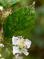 Bramble flower (10493691033).jpg