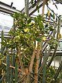 Brasiliopuntia brasiliensis HabitusFlowers BotGardBln0806c.JPG