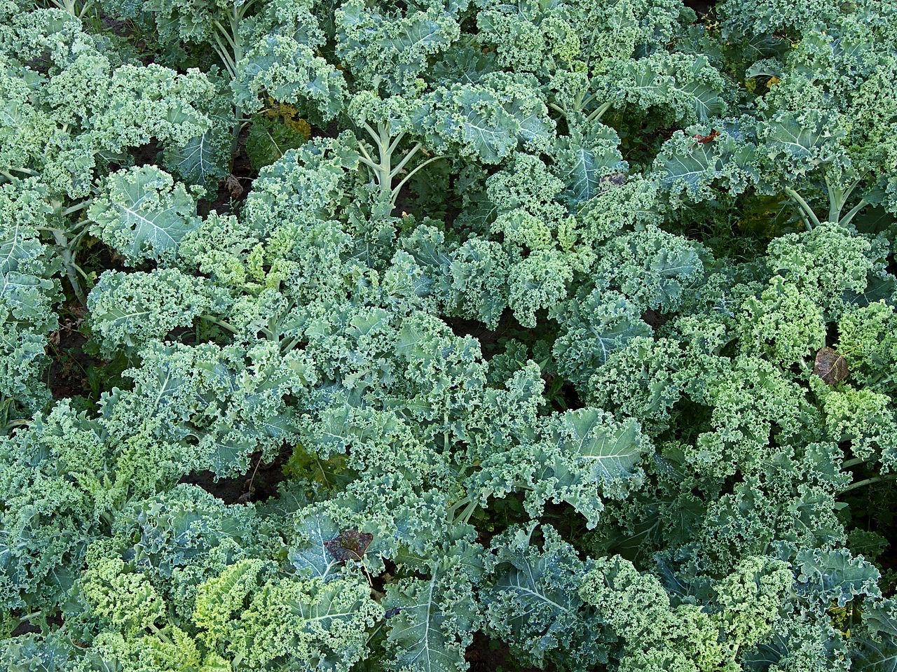 Kapusta kŕmna (Brassica oleracea convar. acephala)