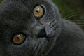 British blue close up.jpg