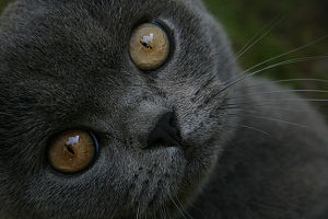 British Shorthair - A young British Blue male showing the copper eyes typical of cats with 'blue' fur.