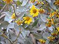 Brittlebush - Flickr - treegrow.jpg