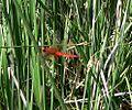 Broad Scarlet - Flickr - gailhampshire.jpg
