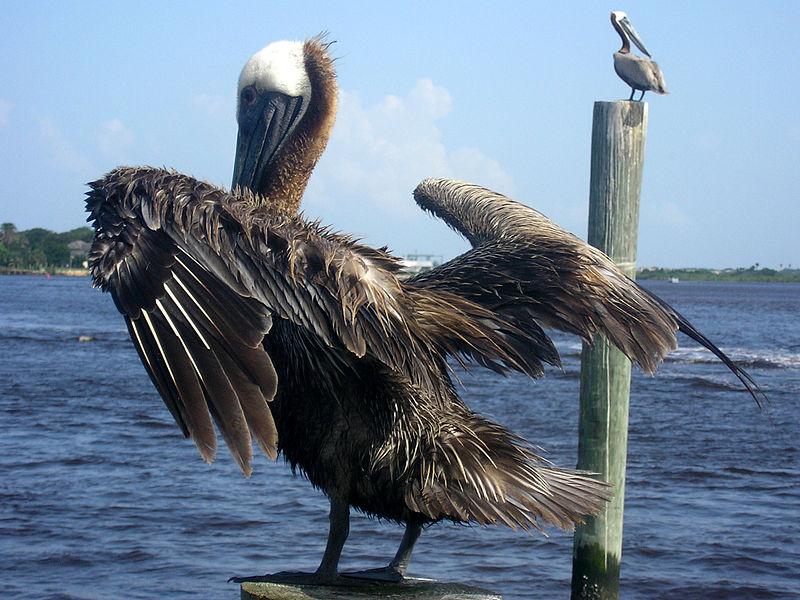 File:Brown-Pelican-Ponce-Inlet-FL.jpg