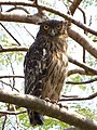 Brown Fish Owl (Ketupa zeylonensis) of Thrissur, Kerala.JPG