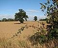 Brown leaves in a hedge - geograph.org.uk - 1536828.jpg