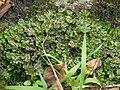 Brunnenlebermoos Marchantia polymorpha Regen nahe Viechtach-002.jpg